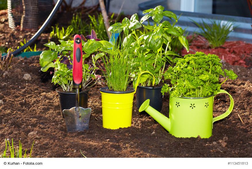 Como plantar lavanda en maceta stunning como plantar - Cultivar lavanda en casa ...