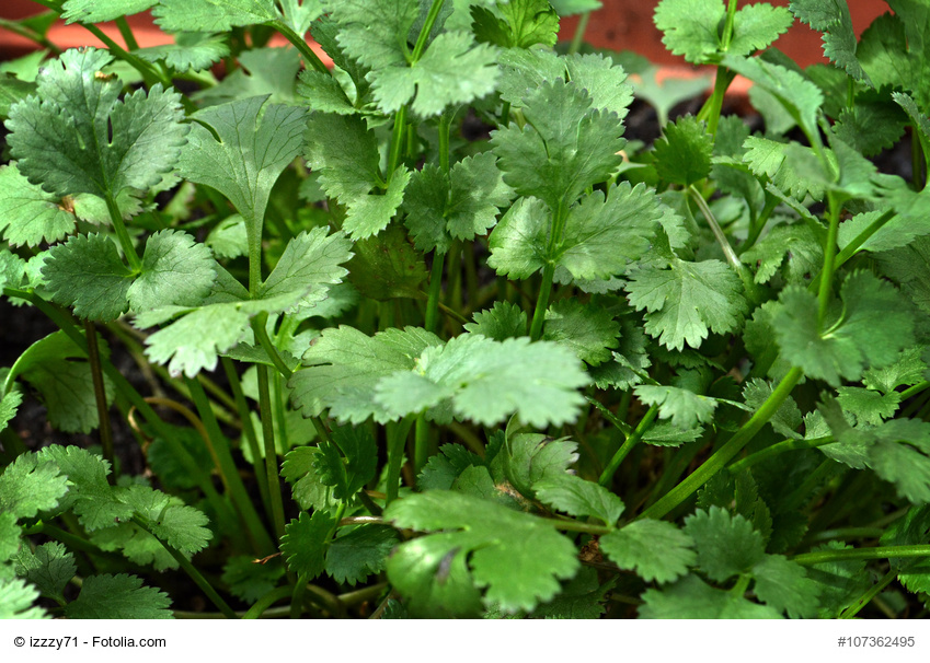 Plantas aromáticas contra plagas