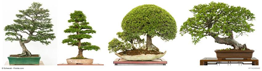 C mo cultivar bons is - Como cultivar bonsais ...