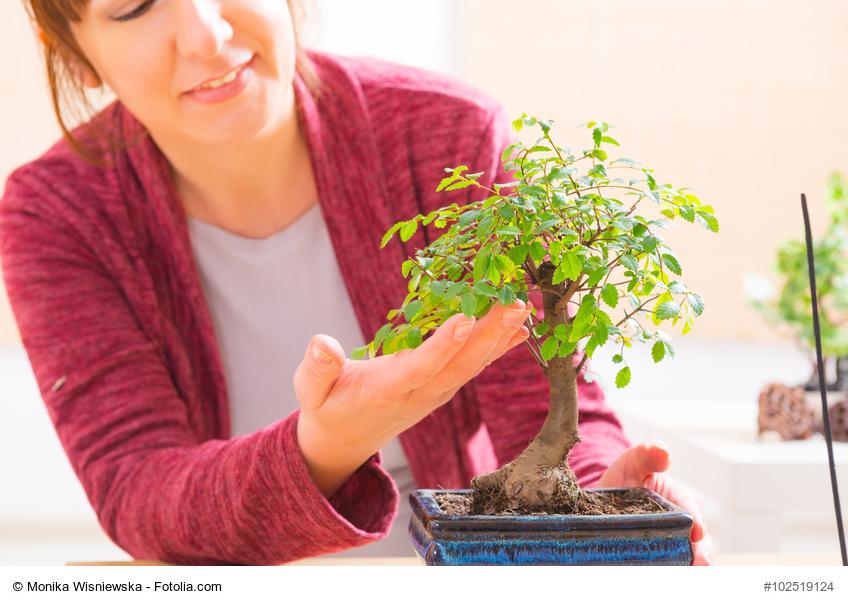 C mo cultivar bons is - Como cuidar un bonsai ...