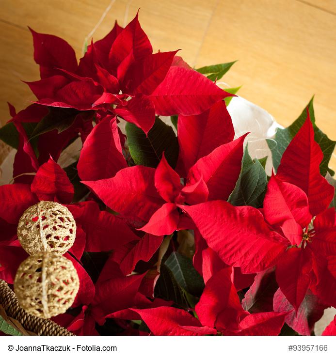 3 flores navide as imprescindibles - Que cuidados necesita la flor de pascua ...