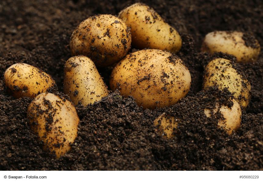 C mo cultivar patatas en tu huerto o jard n for Como cultivar patatas