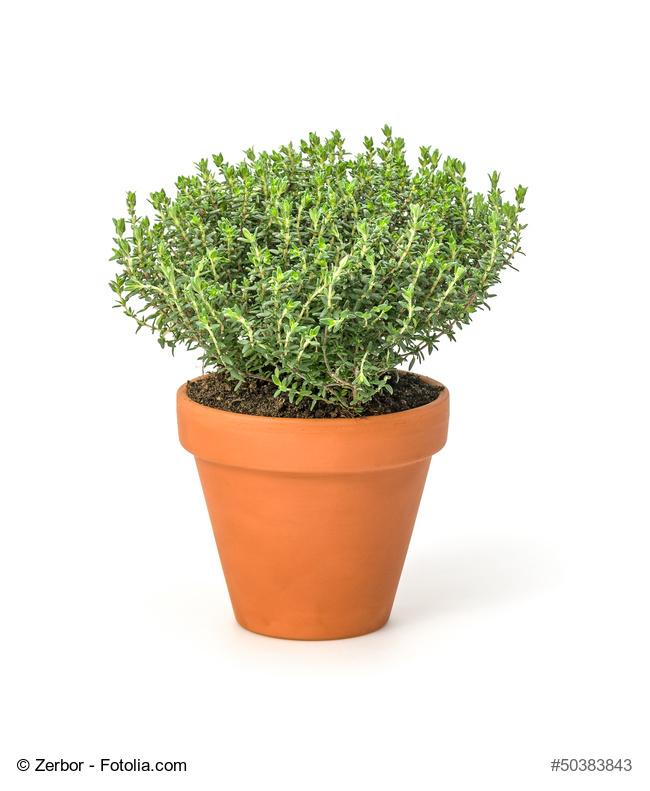 Cultivar tomillo en macetas lo que necesitas saber for Plantas en macetas