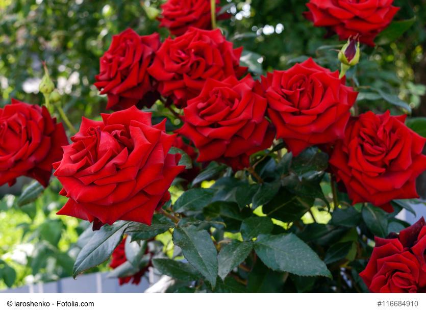 Cómo cultivar las Mejores Rosas