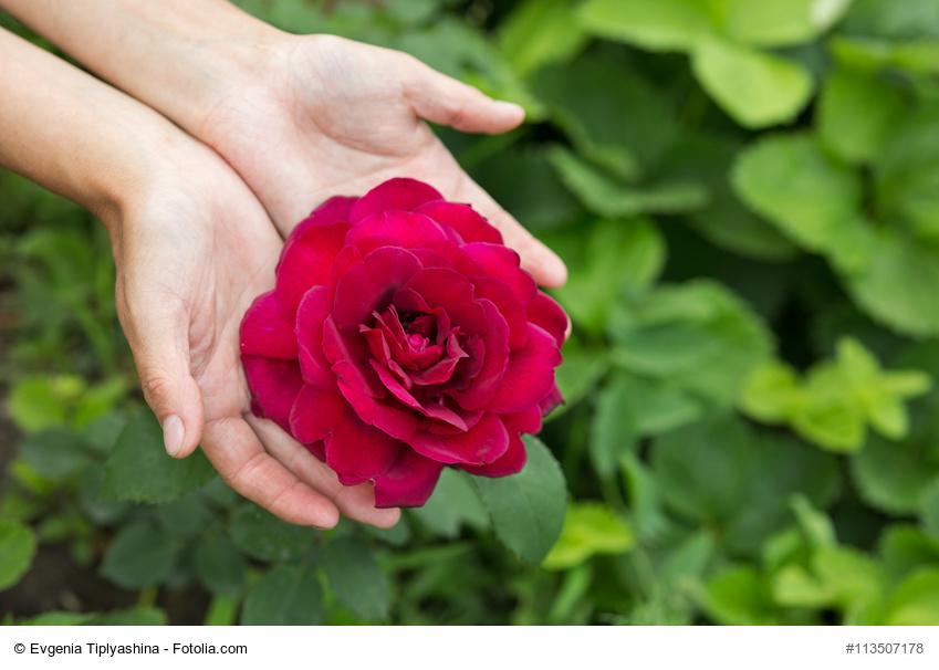 Cómo cuidar rosas
