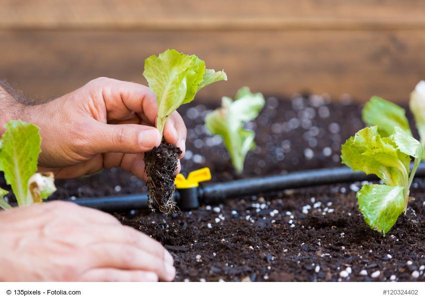 Hoy cultivamos lechuga maquinaria de jardiner for Como aprender jardineria