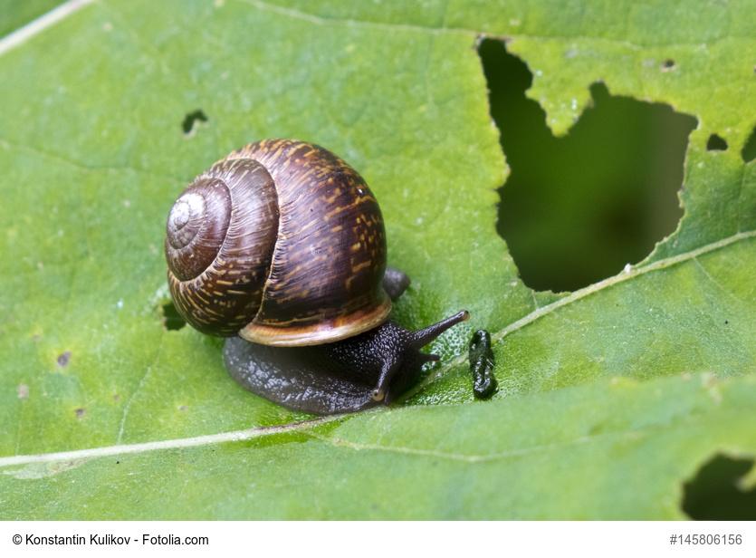 plaga caracoles